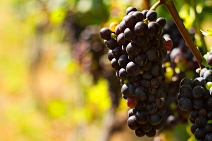 Bluemont vinyard grapes